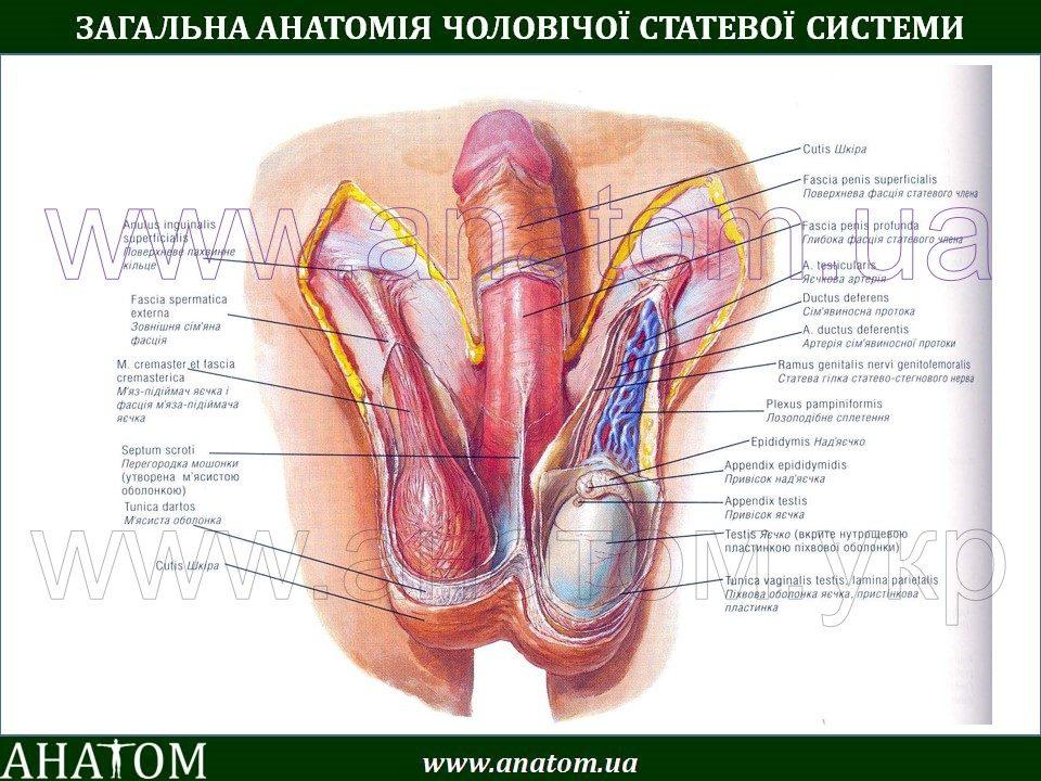 Лк мышца во время секса