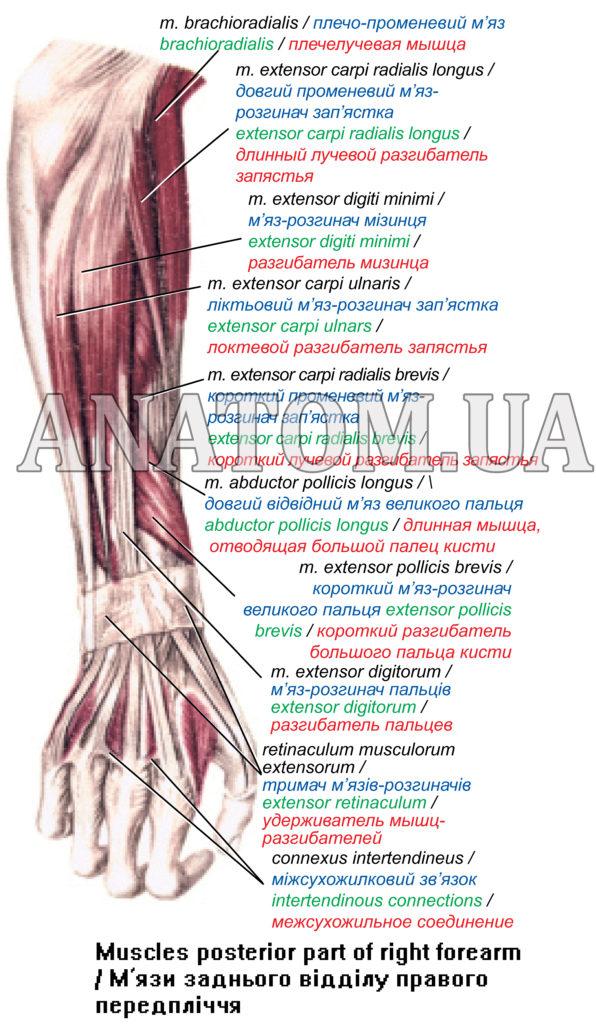 Топографічна анатомія серединного нерва
